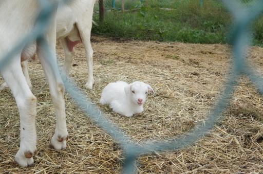 赤ちゃん山羊