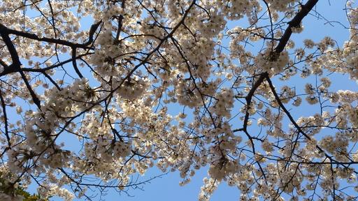 代々木の桜